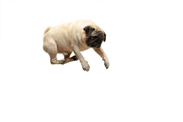 Cute pet dog pug breed jumping with happiness feeling picture id1124400204?b=1&k=6&m=1124400204&s=612x612&w=0&h=7 nqxaranebbj3pgox94rcx5kh9eroxdzrl2npfduxu=
