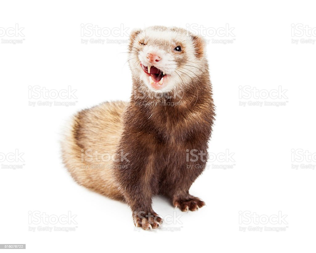 Cute Pet Ferret Funny Expression stock photo
