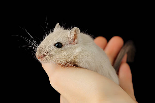 Cute pet gerbil stock photo