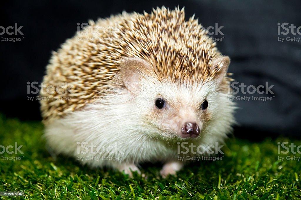 Cute pet hedgehog stock photo
