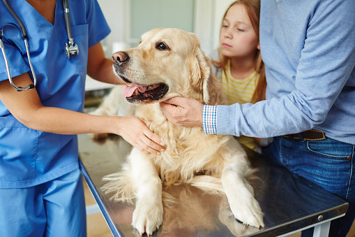 Golden Retriever laying on a veterinary table with veterinarian and owners.