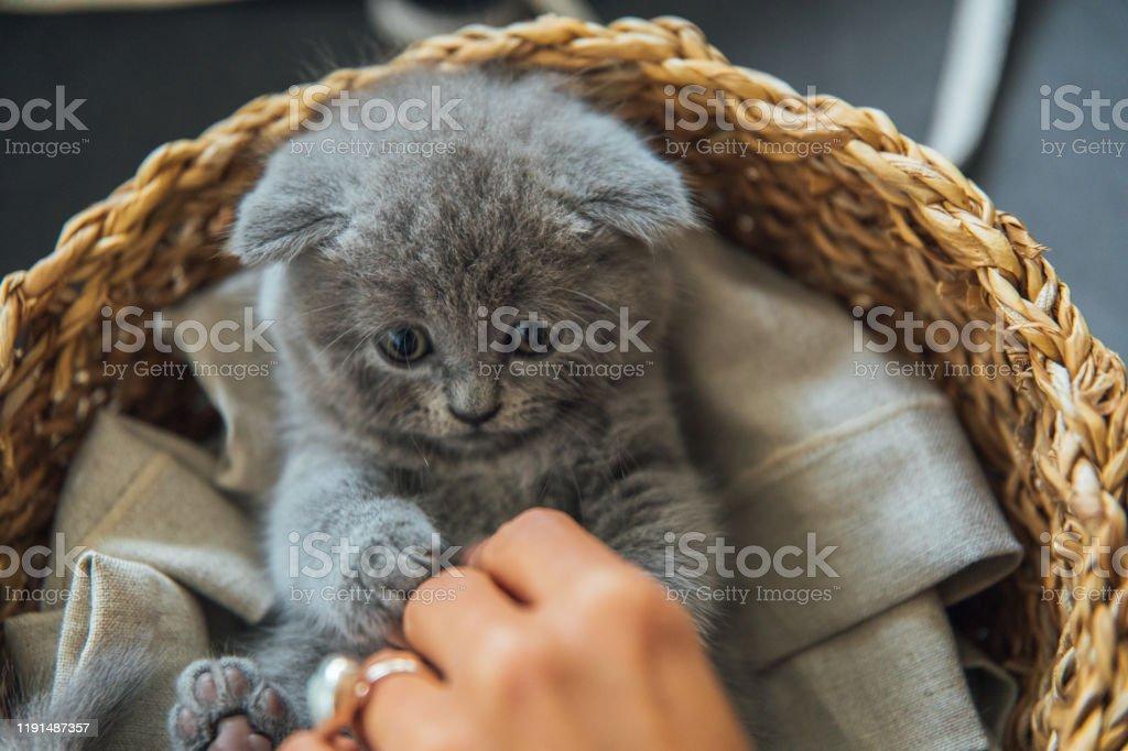 Cute Pet Portrait Beautiful And Fluffy Grey Scottish Fold Cat Young Woman Playing Baby Scottish Fold Gray Kitten Stock Photo Download Image Now Istock
