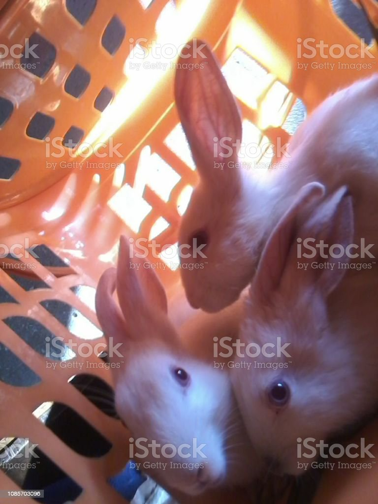 Cute pet Rabbits sitting in her owner house
