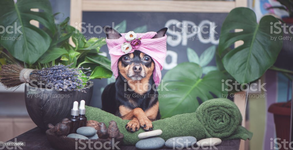 Cute pet relaxing in spa wellness . Dog in a turban of a towel among...