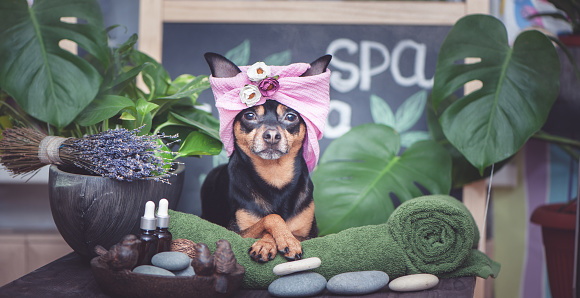istock Cute pet relaxing in spa wellness . Dog in a turban of a towel among the spa care items and plants. Funny concept grooming, washing and caring for animals 1131729356