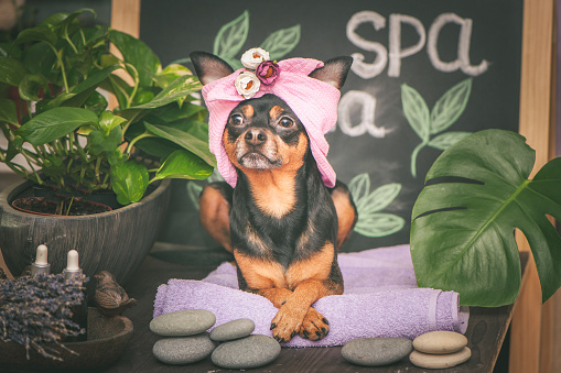 istock Cute pet relaxing in spa wellness . Dog in a turban of a towel among the spa care items and plants. Funny concept grooming, washing and caring for animals 1133404899