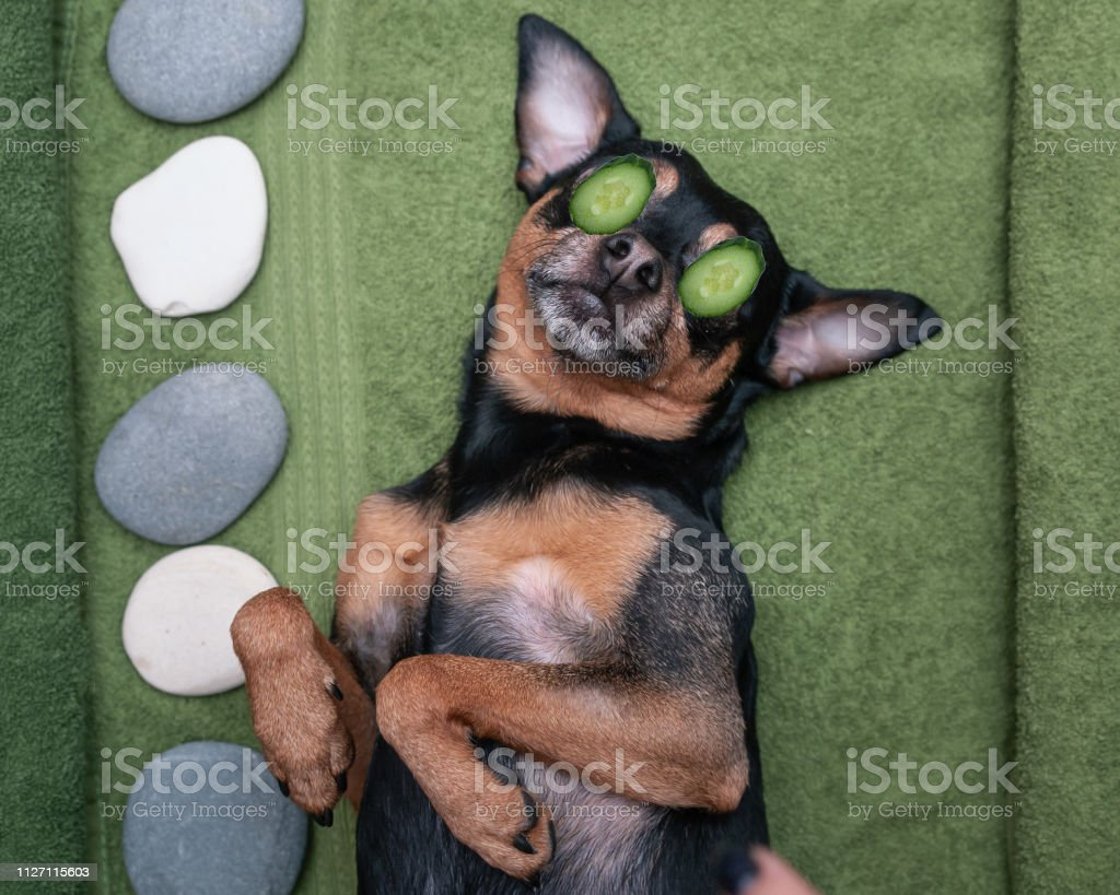 Cute pet relaxing in spa wellness . Dog with a slice of cucumbers on...