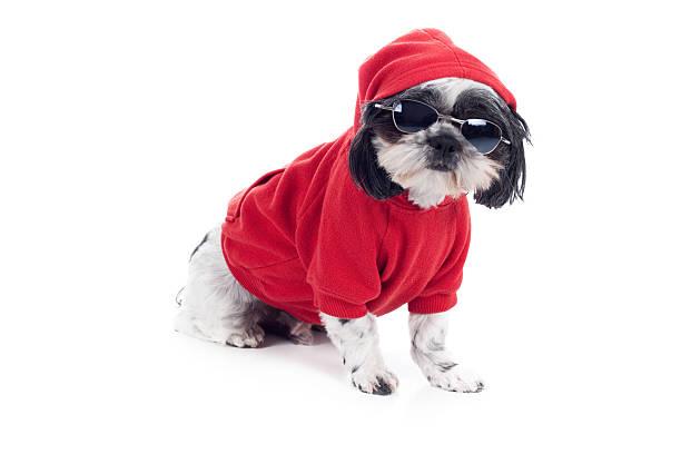 niedliche haustier shitzu hund in rotes sweatshirt mit kapuze und eine sonnenbrille mit - coole halloween kostüme stock-fotos und bilder