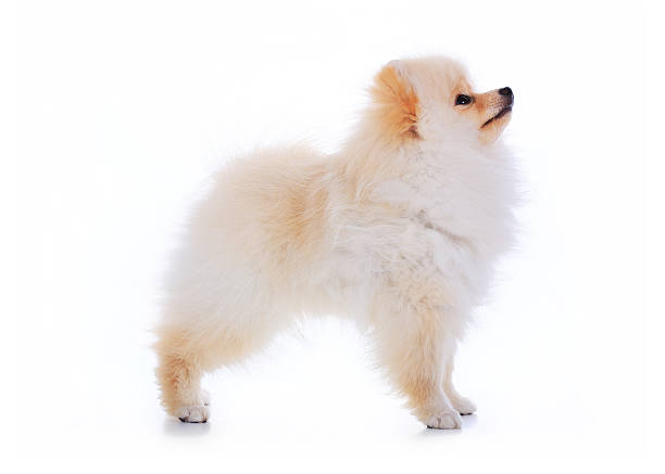 cute pet talent award, pomeranian dog stand on white background stock photo
