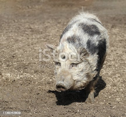 cute pig in the mud
