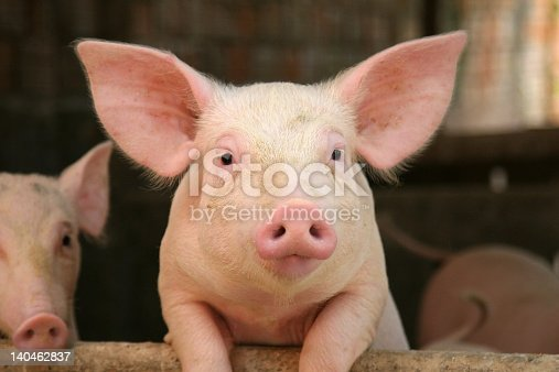 istock Cute pig leaning on railing of his cot 140462837