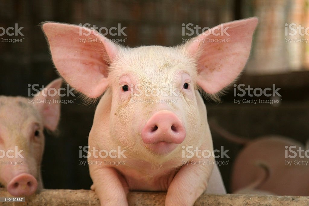 Cute pig leaning on railing of his cot stock photo