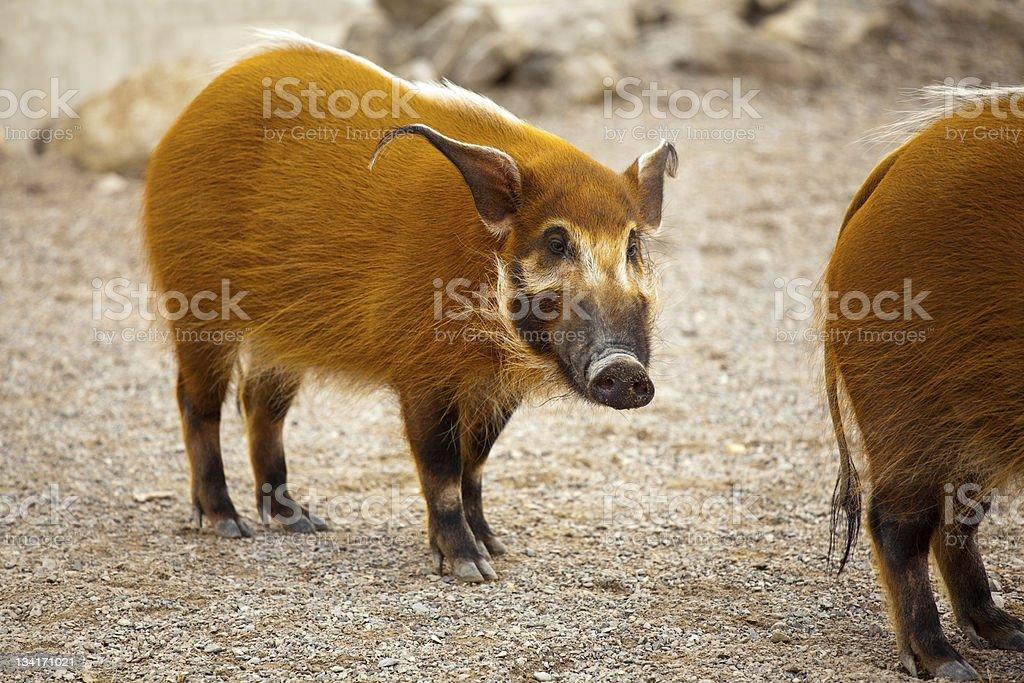 Cute piggy stock photo