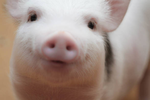 cute piggy smiles cute piggy smiles and waits for a treat snout stock pictures, royalty-free photos & images
