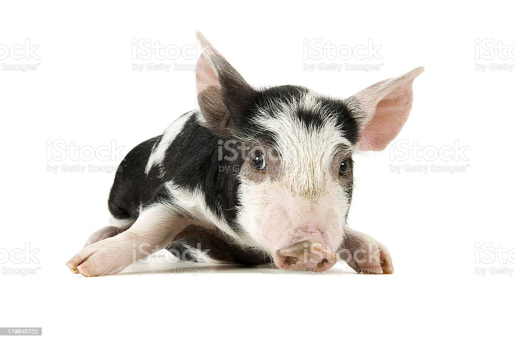 Cute piglet isolated on white. Soft shadow under image. royalty-free stock photo