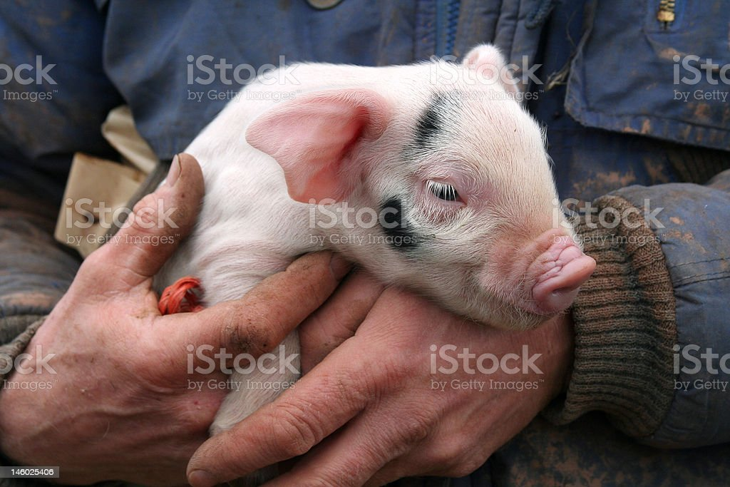 Cute Piglet royalty-free stock photo