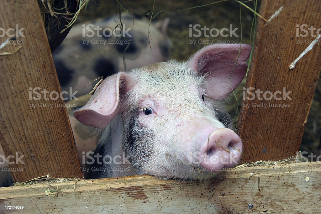 Cute piglet portrait royalty-free stock photo