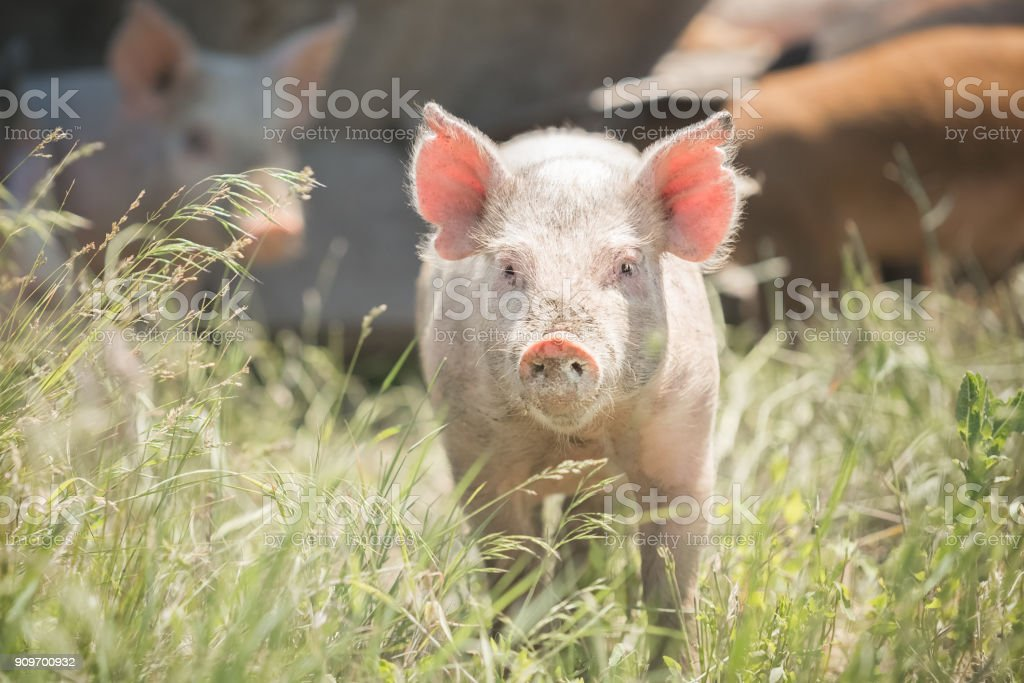 Cute piglet standing in grass stock photo