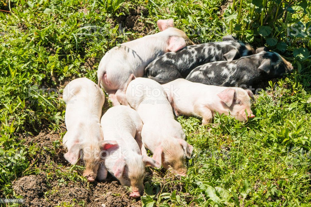 Cute piglets royalty-free stock photo
