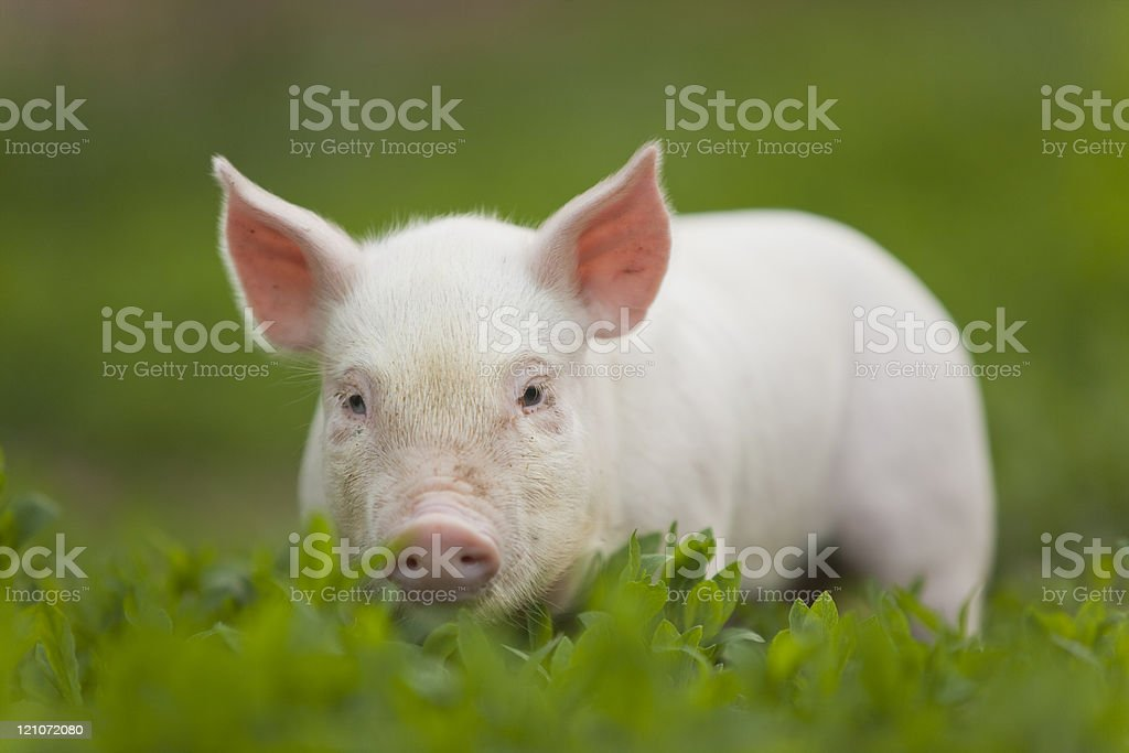 A cute pink baby pig walking in the grass stock photo