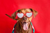 A cute pit bull dog smiling as she wears her Valentine's Day glasses and a sweater on a red background.