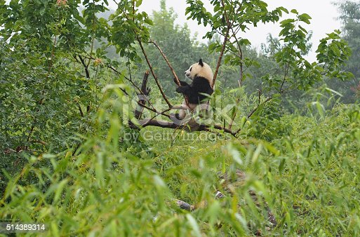 A cute giant panda investigates a branch at the Shaanxi Province Rare Wildlife Rescue and Breeding Research Center. Giant pandas are an endangered species with a population of about 1,800 world-wide. Many are being bred or rehabilitated in places, such as this sanctuary near Xi'an, China.