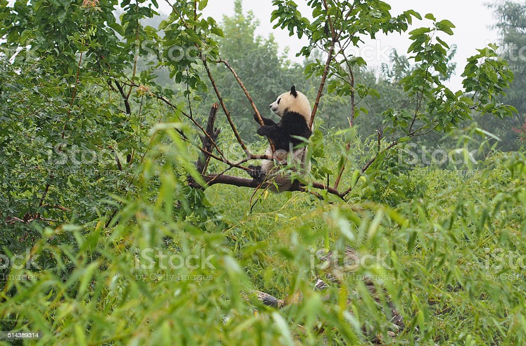 Cute Playful Giant Panda at Shaanxi Panda Sanctuary in China stock photo