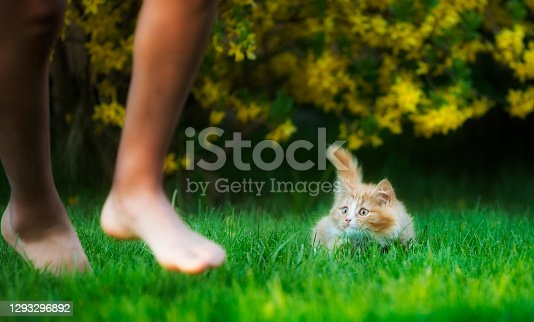 Cute, playful kitten of Norwegian Forest Cat breed, ready to follow a playmate