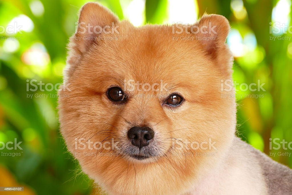 Haircut For Pomeranian Dog Groomer Haircut Image Photo Free Trial