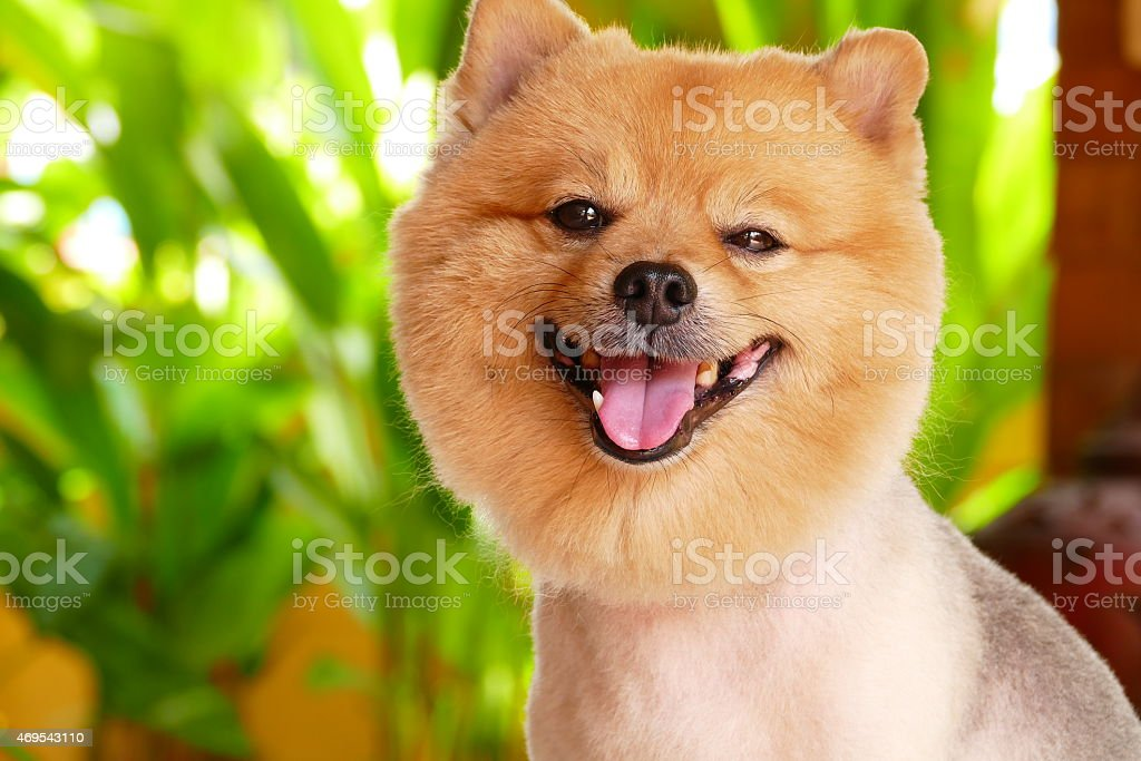 Cute Pomeranian Dog After Haircut Stock Photo More Pictures Of