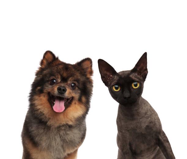 Cute pomeranian dog and black cat looking curious picture id936004072?b=1&k=6&m=936004072&s=612x612&w=0&h=z k5 rogbznyhrjxkd7gi1mlbxftwmxlvtnkascaxlg=