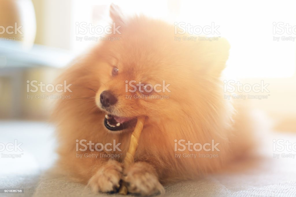 Cute Pomeranian Dog Chewing a Rawhide Chew Stick stock photo