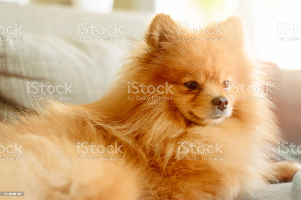 Cute Pomeranian Dog Lying on Sofa stock photo