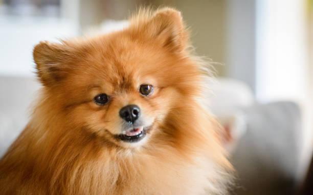 Cute Pomeranian Dog Sitting on Sofa stock photo