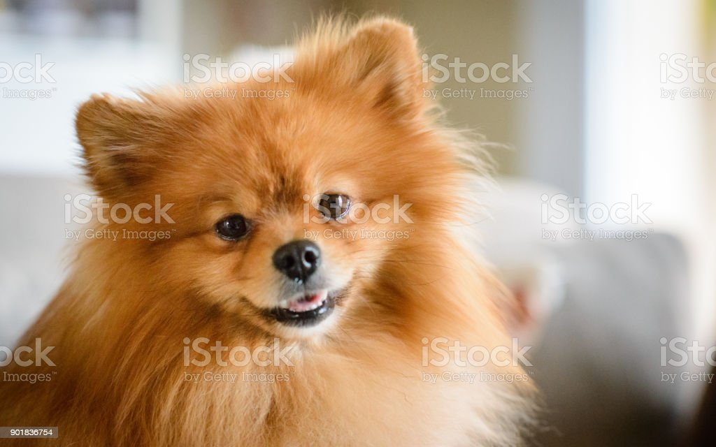 Cute Pomeranian Dog Sitting on Sofa stock photo