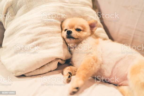 Cute pomeranian dog sleeping on pillow on bed picture id609918992?b=1&k=6&m=609918992&s=612x612&h= os9zadsrydupaywt 3b16uiarcl7vur9qi53cfbhis=