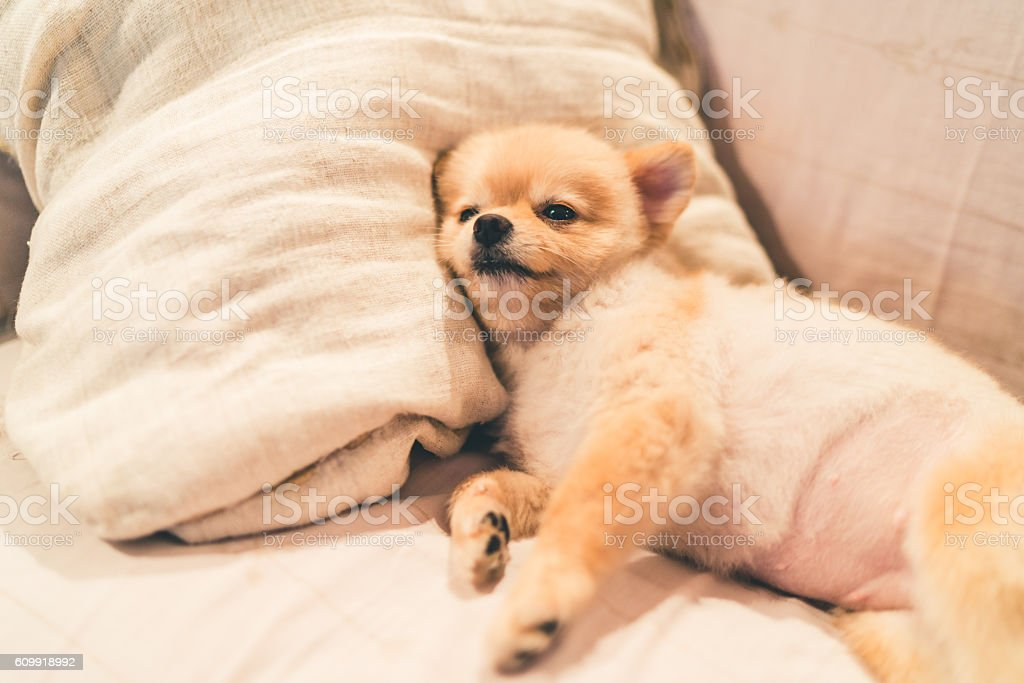 Cute pomeranian dog sleeping on pillow on bed stock photo