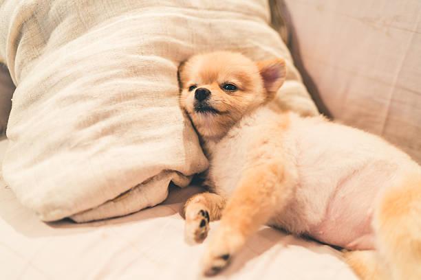 cute pomeranian dog sleeping on pillow on bed - kleinspitz stock-fotos und bilder