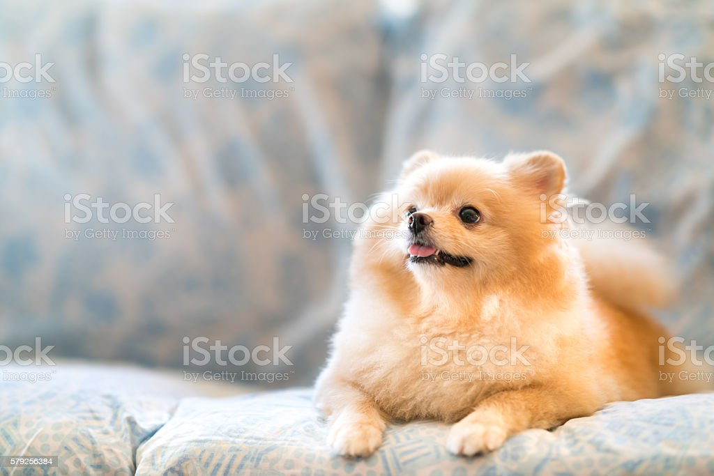 Cute pomeranian dog smiling on the sofa, looking upward stock photo