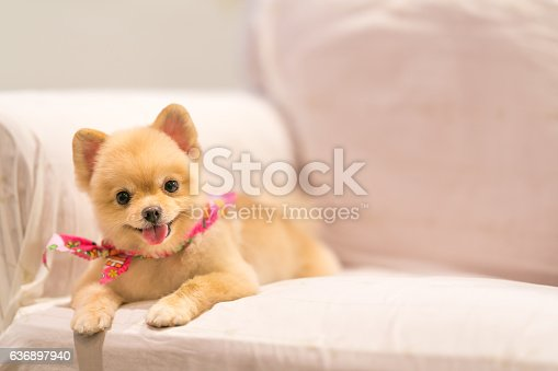 istock Cute Pomeranian dog smiling on the sofa with copy space 636897940