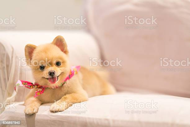 Cute pomeranian dog smiling on the sofa with copy space picture id636897940?b=1&k=6&m=636897940&s=612x612&h=p4x8tbgvjxn6azzoo0d0nm30stm3jb  yzu1ihraduu=