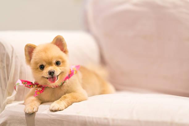 cute pomeranian dog smiling on the sofa with copy space - zwergspitz stock-fotos und bilder