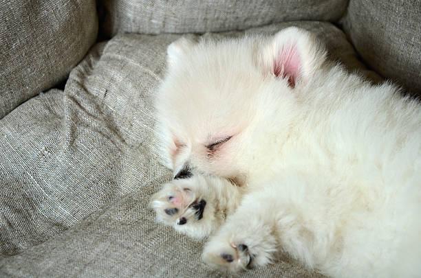 Süße Kleinspitz Welpen schlafen im Bett – Foto