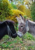 pony, small, horse, animal mane,donkey,mule, animal, cute