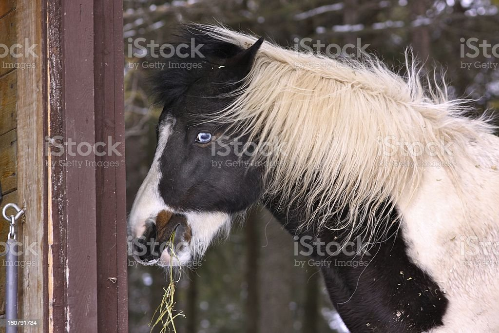 Cute pony in winter with furry coat and blue eyes royalty-free stock photo