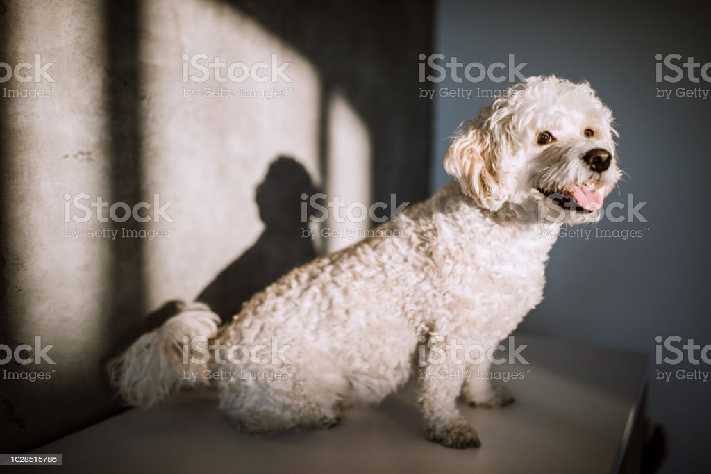Cute Poodle Dog Posing Happily In Living Room