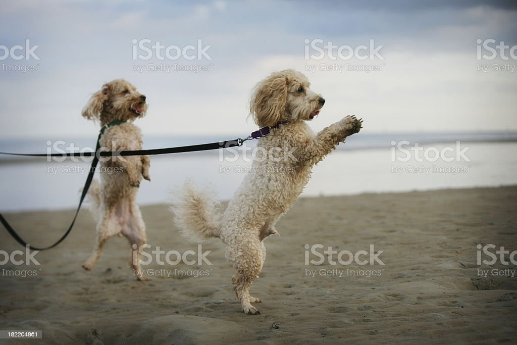 Cute Poodles Playing on Beach While Walking stock photo