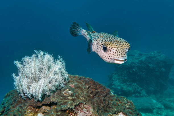 Cute Porcupine fish (Diodon hystox) Balloonfish near brittle sea star stock photo