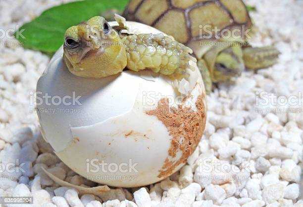 Cute portrait of baby tortoise hatching picture id635998204?b=1&k=6&m=635998204&s=612x612&h=x5p9hjn 8qf8d3f nwckd8ssrmi9uim37bpivmmrtba=