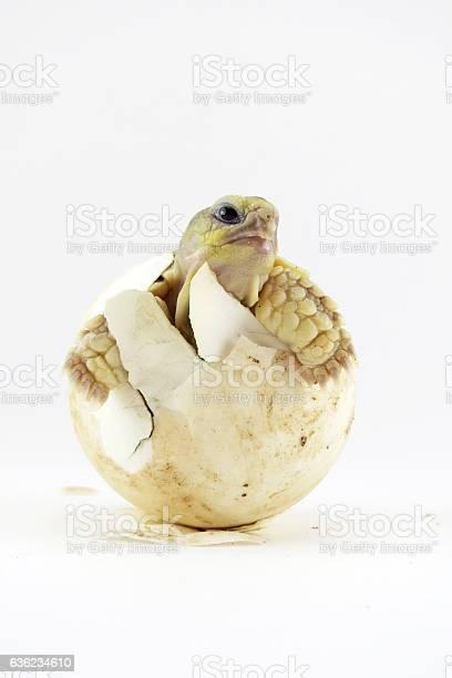 Cute portrait of baby tortoise hatching picture id636234610?b=1&k=6&m=636234610&s=612x612&h=rl5ccvudj utngzgncbwc2qzdm2tzmncacbj yr0ih4=